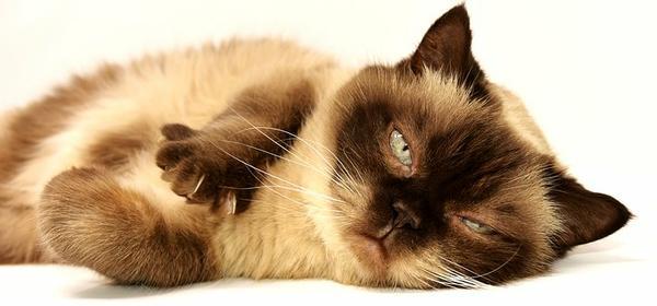 karma hypoalergiczna dla kotów